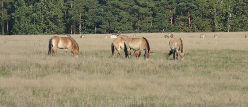 Radtour: Przewalski-Pferde in der Schorfheide