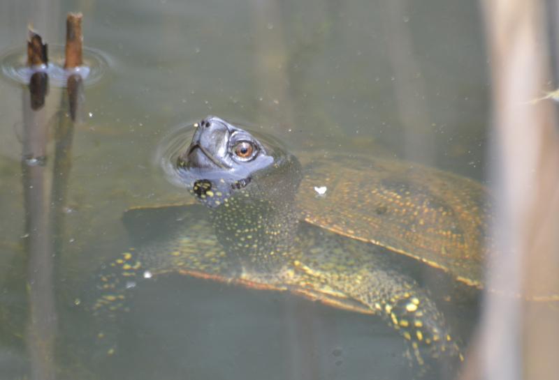 Uckermark: Europ. Sumpfschildkröte - Blumberger Mühle bei Angermünde