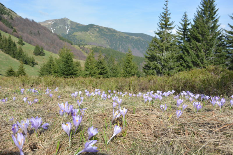 Mala Fatra Mountains -  Crocus Medadow near  Maly Krivan