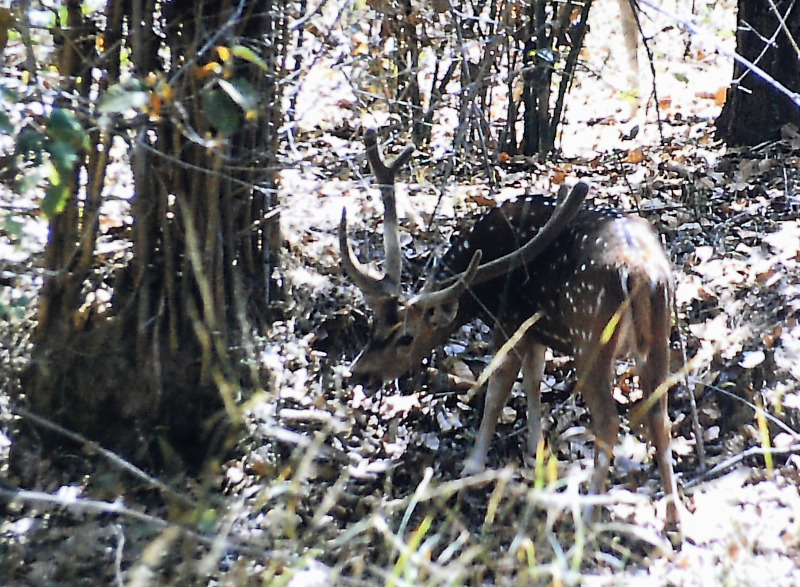 Kanha - Nationalpark Deer