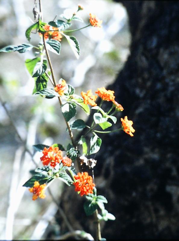 Kanha - Nationalpark - Blühender Jungstrauch