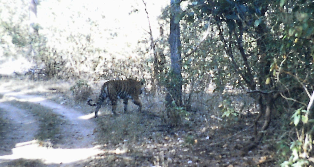 Kanha - Nationalpark - Tiger