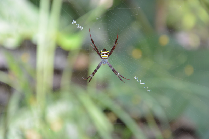 Spinne in Thailands Bergwäldern