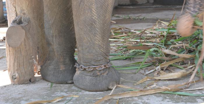Thailands Elefanten-Camps: Fußfessel eines Elefanten