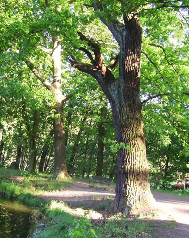 Dahlener Heide Höhlenbaum