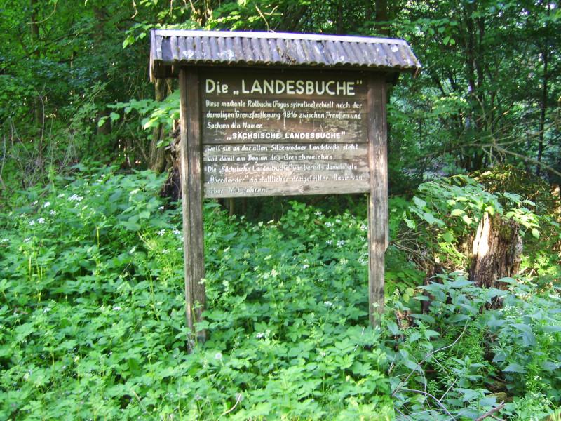 Landesbuche Dahlener Heide