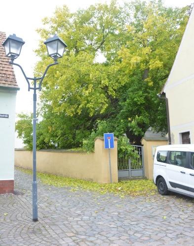 Schildau - ältester Maulbeerbaum Deutschlands